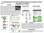 Manipulation of the Wnt Signaling Pathway and Analysis of Gene Expression in Axolotls